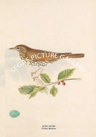 SONG TRUSH - Turdus Musicus